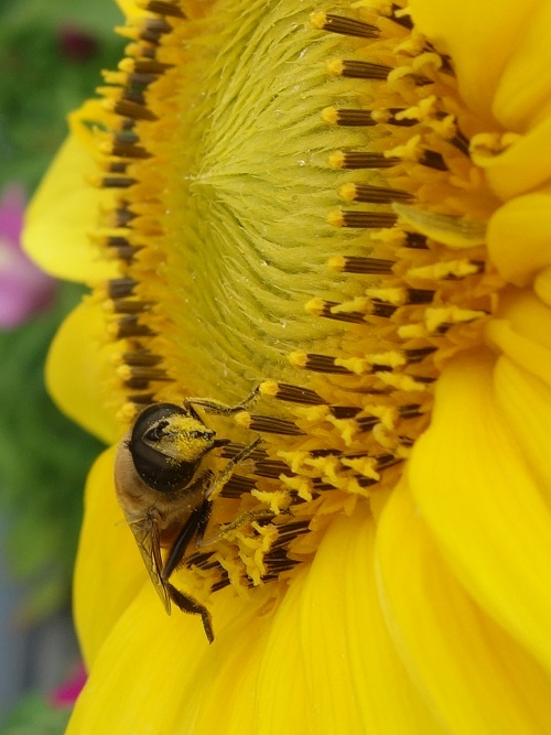 Sonnenblume-Biene (1)