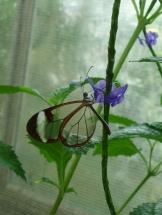 Ein Glasflügler im Schmetterlingshaus.