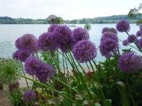 Violette Blütenbälle: Im Moment sind ganze Felder mit Zierlauch zu bewundern.