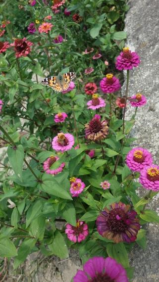 Piemont-2019 Schmetterling (4)
