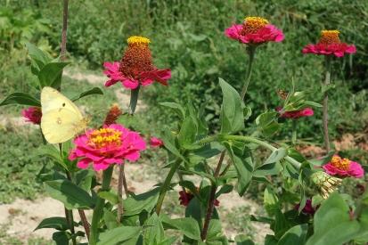 Piemont-2019 Schmetterling (5)