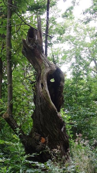 """Mit etwas Fantasie sehe ich hier den baumgewordenen """"Schrei"""" von Edvard Munch."""